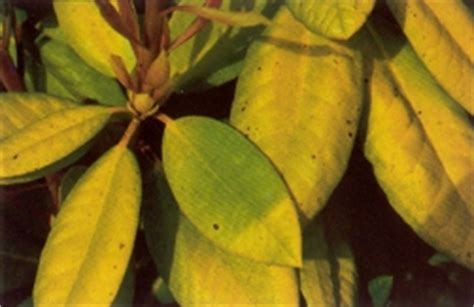 rhododendron leaves turning yellow non disease problems fraser south rhododendron society