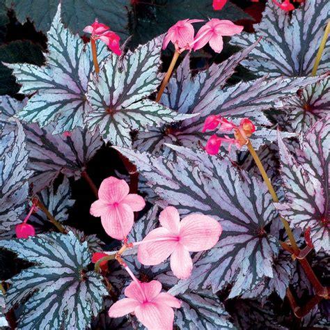 Garden Blush Begonia by Begonia Garden Blush Terra 174 Nurseries Inc