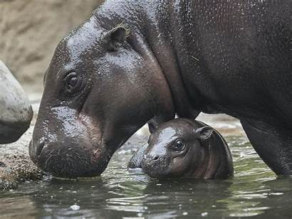 Hippo Pygmy Zoo Adorable Prepares Reopens Meet