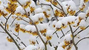 Blumen Im Winter : winterbl her im garten bl ten und duft in eis und schnee ~ Eleganceandgraceweddings.com Haus und Dekorationen
