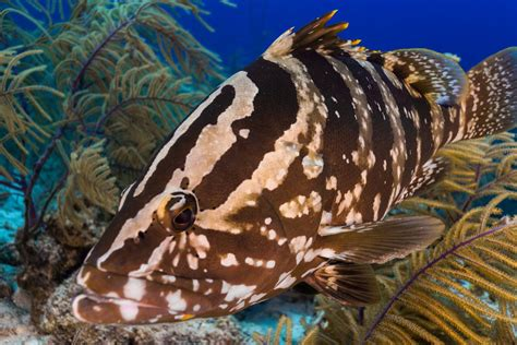 grouper nassau coral marine reef fish bahamas cayman ecosystem ocean islands caribbean shark oceana reefs striatus habitat fishes encounter diving
