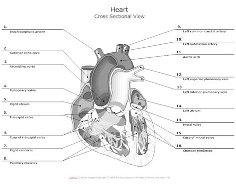 anatomy chart typical   anatomy charts