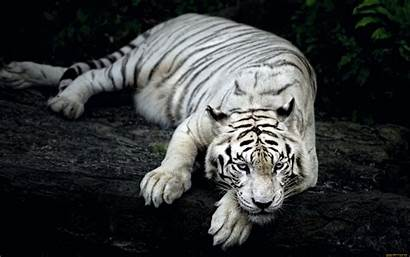Animal Tiger Wallpapers Animals Tigers Wide