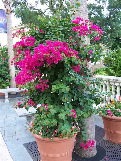 planting bougainvillea in pots world top pictures bougainvillea best new