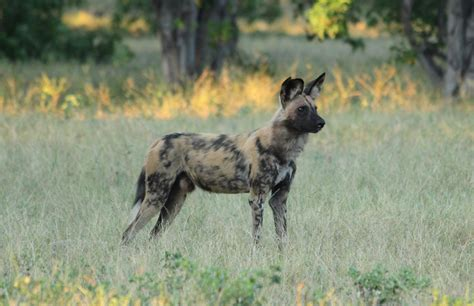 travelswithkathleen african wild dogs