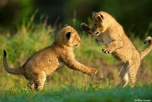 Baby Lion Cubs Playing