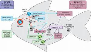 Interplay Between The Endocrine And Circadian Systems In