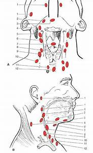 Lymph Nodes Of The Neck And Face