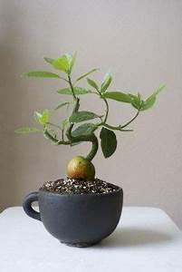 Avocado Baum Pflege : can i bonsai an avocado plant pflanzen zimmerpflanzen und baum ~ Orissabook.com Haus und Dekorationen