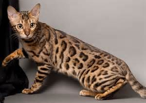 cat spots domestic cats with spots pets world