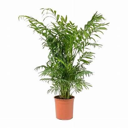 Palm Parlour Chamaedorea Elegans Plant Hortology Indoor