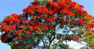 Trees Planet  Delonix Regia - Royal Poinciana