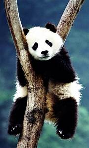 Panda wallpaper - Android Apps on Google Play