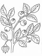 Blueberry Coloring Pages Berries Fruits Printable Recommended sketch template