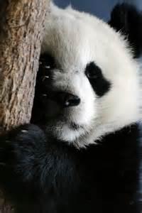 Panda One of My Favorite Animals