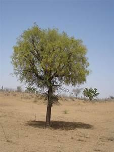 Prosopis cineraria - Wikipedia