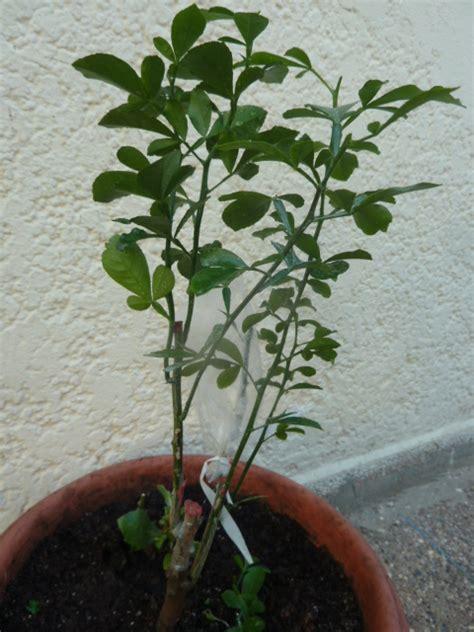 pot pour arbre fruitier arbuste fruitier en pot 28 images arbre fruitier nain pot 1000 id 233 es sur le th 232 me