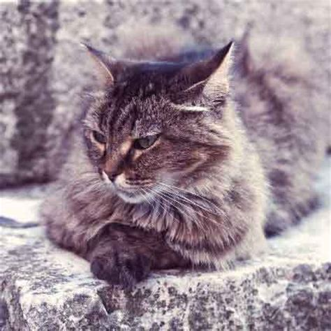 average cat lifespan cat breed lifespan chart your cat british shorthair cat breed profile cat breed profiles