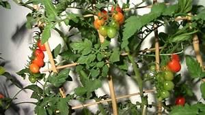 Aprikosenbaum Selber Ziehen : tomaten im wohnzimmer anbauen youtube ~ A.2002-acura-tl-radio.info Haus und Dekorationen