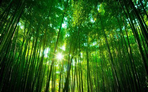 Lovely Bamboo Wallpaper 45259 1920x1200 Px Hdwallsourcecom