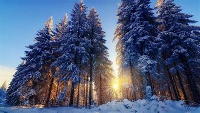Winter Forest Snow Sun Tree Nature Trees