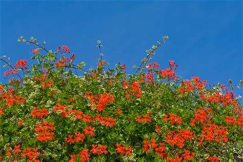 balkonpflanzen viel sonne balkonpflanzen f 252 r die sonne so finden sie die passenden blumen