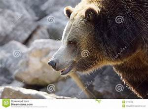 Grizzly bear profile stock photo. Image of head, brown ...