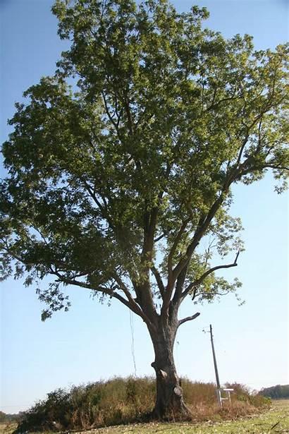 Pecan Trees Delaware Delawaretrees