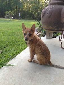 red heeler puppy | Doggy