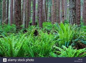 Dense Undergrowth Of Ferns In A Temperate Rain Forest