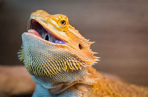 bearded dragon mouth open clubfauna