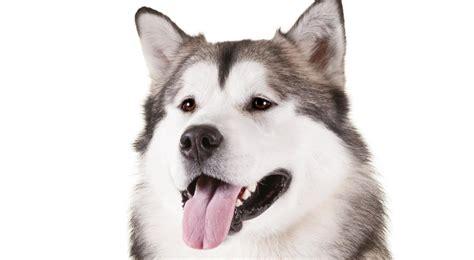 Alaskan Malamute Dog Breed Information American Kennel Club