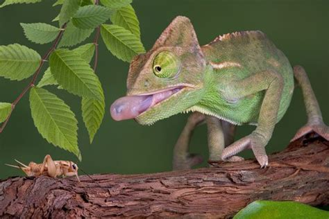 chameleon care 96 best images about chameleons on pinterest zoos pets and animals