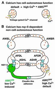 Intercellular calcium signaling in a gap junction-coupled ...