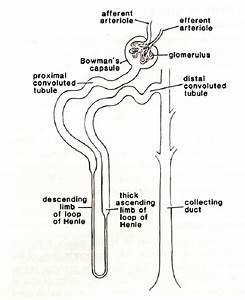 4  Structure Of The Renal Nephron  The Proximal Tubule Is