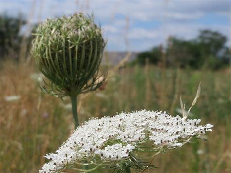 https://plants.ces.ncsu.edu/plants/all/daucus-carota/