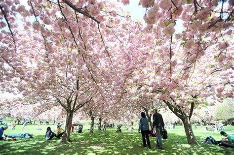 botanical garden cherry blossom cherry blossoms peak but festival is still on ny daily news