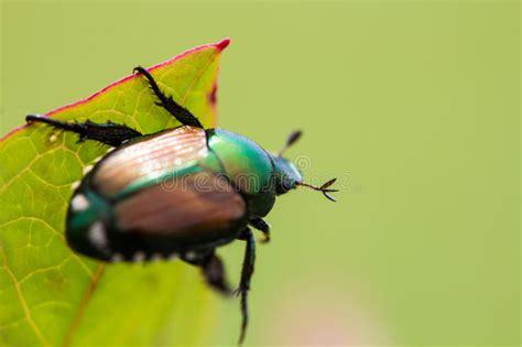 popillia japonica dello scarabeo giapponese sulla foglia