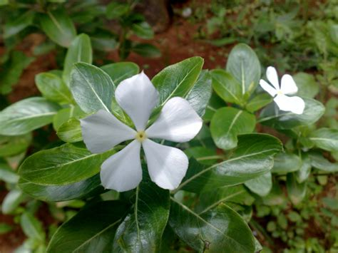 Free photo: White Savam Nari Flower - Catharanthus, Color ...