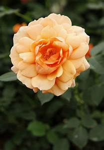New 'Jane Austen' rose launched at Chelsea Flower Show ...