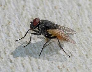 Husflugor