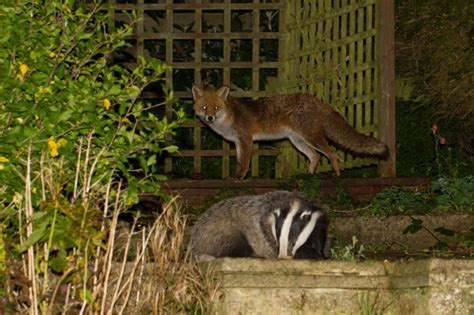 The Badger And Fox (photo Special