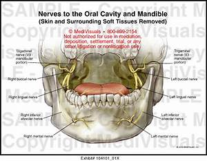 Nerves To The Oral Cavity And Mandible Medical Illustration