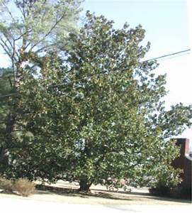Mississippi MS State Tree List Of 50 State Trees Of The