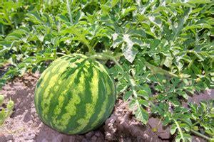 honigmelone schneiden anleitung melonen anbauen anleitung und beliebte melonensorten