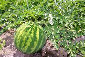 Gurken Pflanzen Anleitung : melonen anbauen anleitung und beliebte melonensorten ~ Whattoseeinmadrid.com Haus und Dekorationen