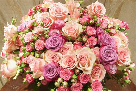 hot pink roses lands roses frühjahr sommer