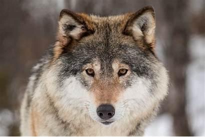 Ulver Tyskland Ulven Politisk Strid Skaper Ulv