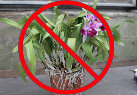 repotting orchids in bloom repotting cattleya other sympodial orchids