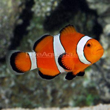 fishy fishy finding clownfish